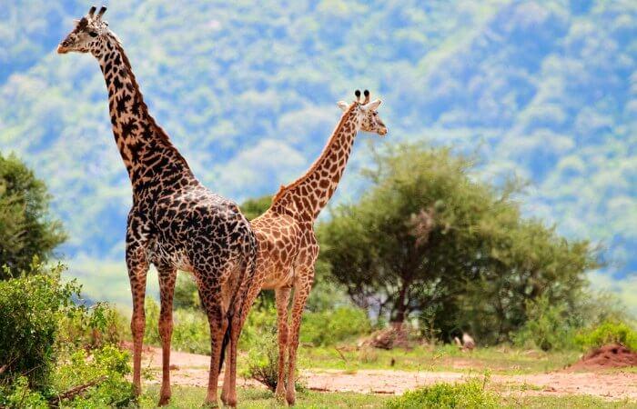 Giraffe at Lake Manyara - Tanzania family safari holiday
