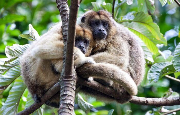 Belize family holiday - Howler monkeys