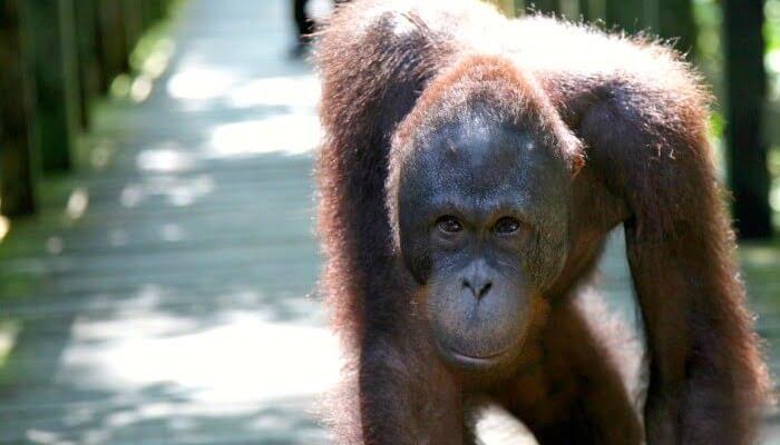 Places to visit in Borneo - orang-utan at Sepilok Sanctuary