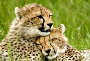 Kenya itineraries - cheetah cubs