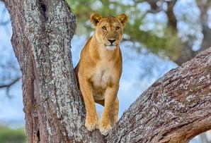 Tanzania itineraries - tree climbing lion looking at camera