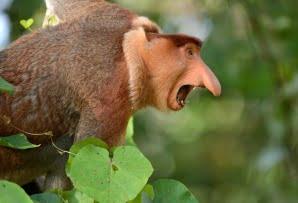 Proboscis monkey side view Borneo itineraries