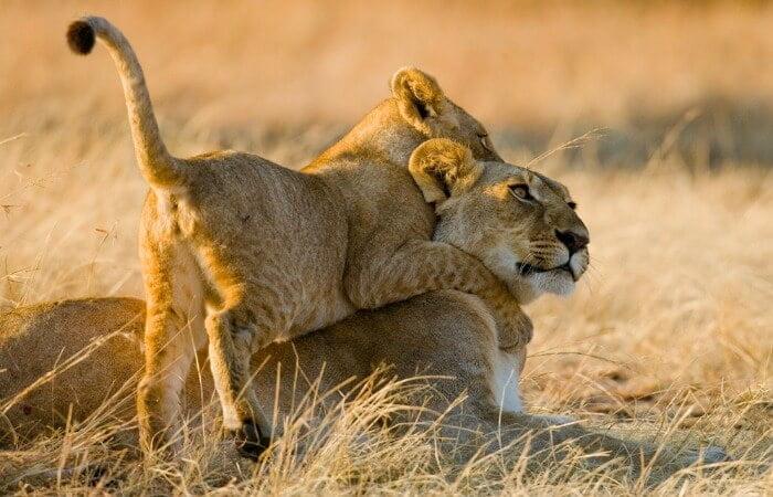 Masai Mara lion and cub - Kenya family safari
