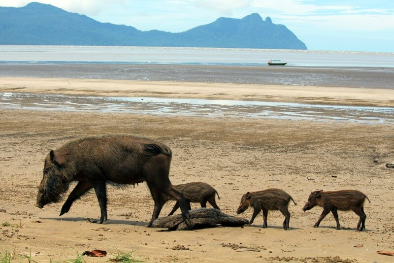 Bearded pig family, Bako National Park
