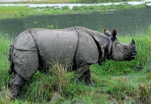 Nepal itineraries - rhino in Chitwan National Park