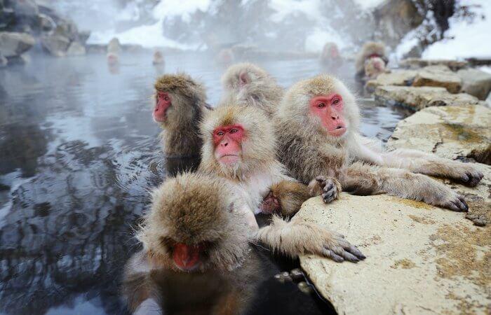 Snow monkeys Family holidays to Japan