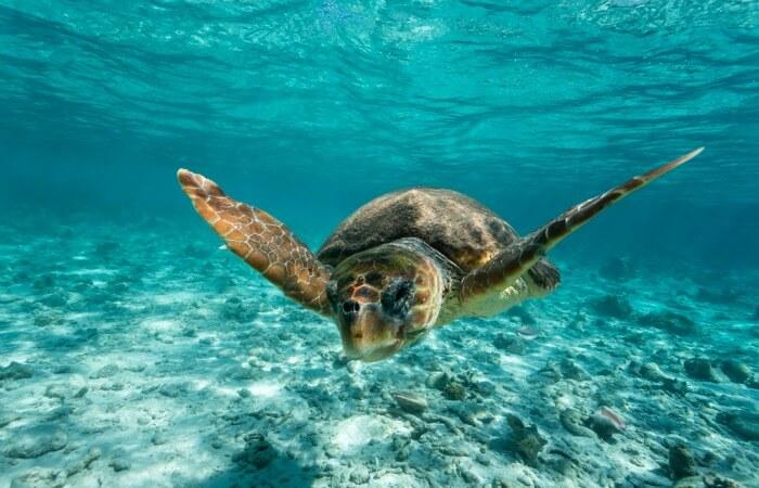 2017 family holidays - loggerhead turtle swimming