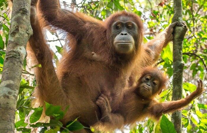 family wildlife holidays - mum and baby orang-utan in the tree tops
