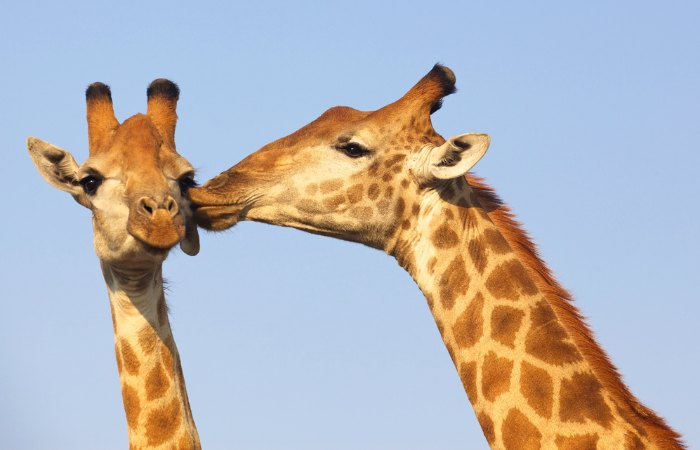 Spotting giraffe on a South Africa for families itinerary
