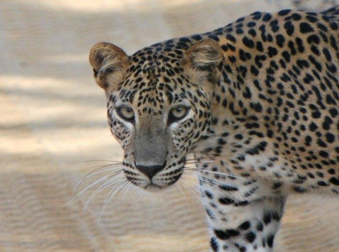 Leopard Sri Lanka - Young photographer awards