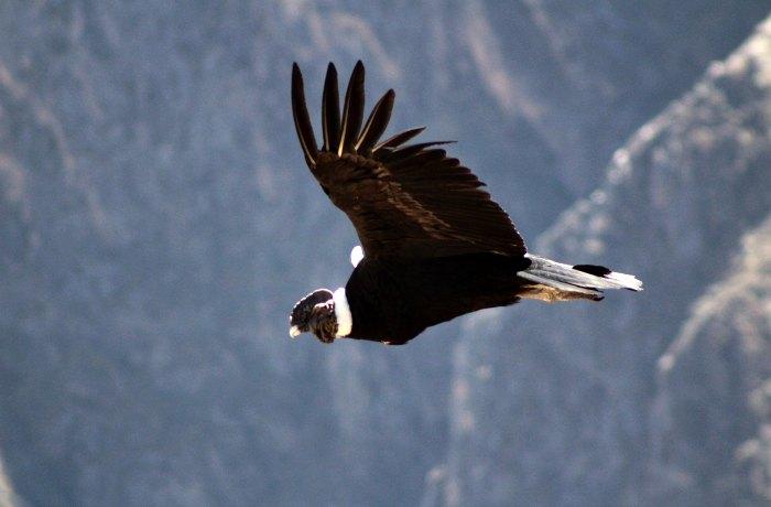 Colca Canyon condor - young photographer awards winner under 18s