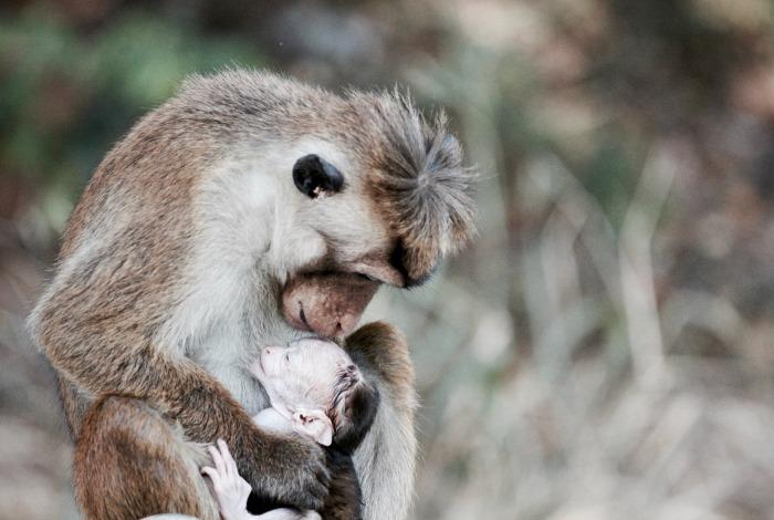 Monkey and baby in Sri Lanka - photo awards