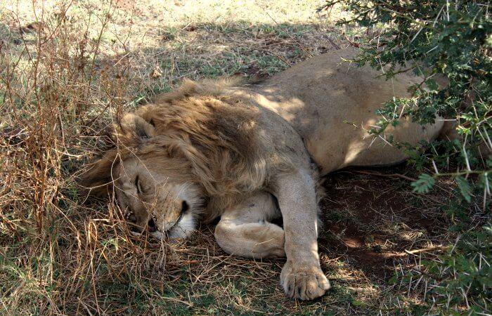 lions dozing under a tree - Liddy's Safari Diary