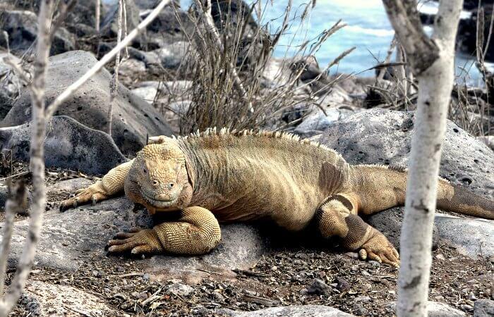 land iguana - Galapagos islands cruise