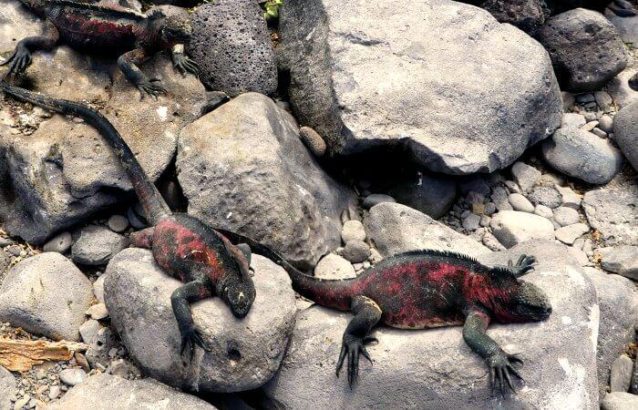 Marine iguanas - Galapagos island cruise