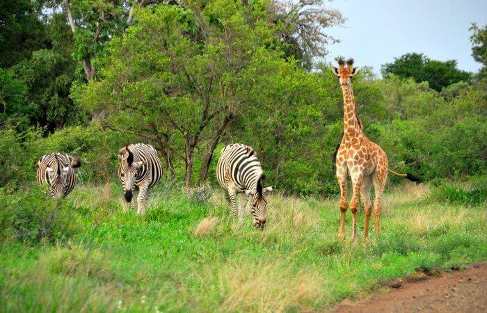 Giraffe and zebra in the Kruger - family safari