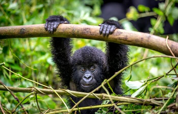 Baby gorilla spotted on a gorilla safari in Uganda - holidays with teenagers