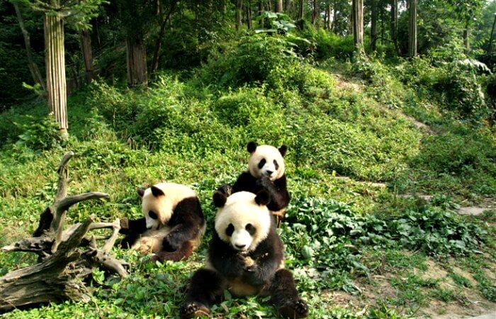 Panda family - China with kids itinerary