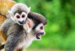 Brazil itineraries - squirrel monkeys