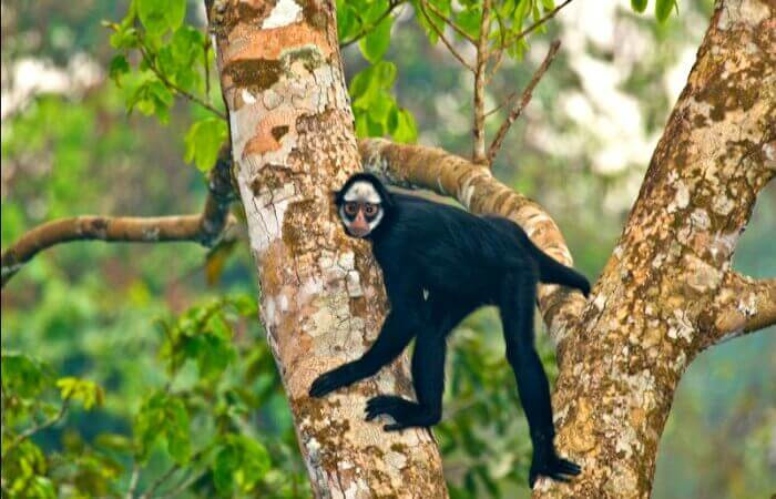 Spider monkey in the Amazon - Brazil with children itinerary