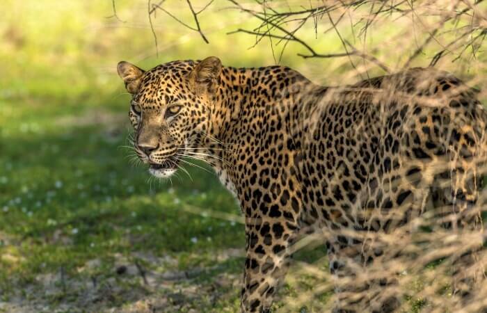 Leopard in Willpattu National Park Sri Lanka - 50th birthday abroad