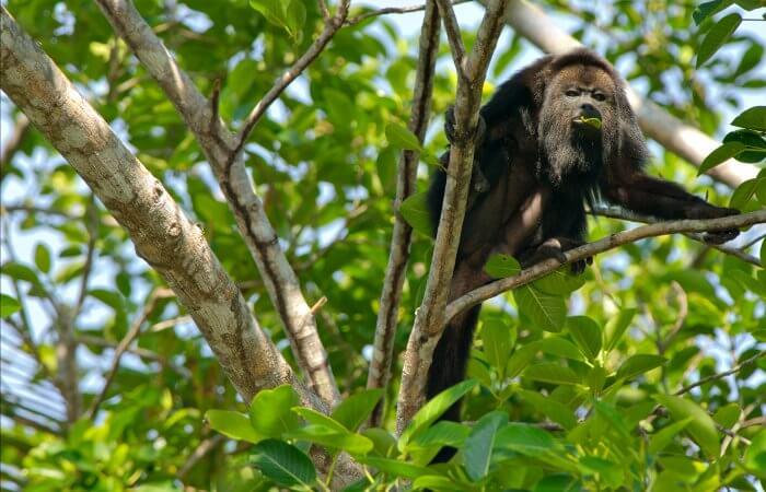 Howler monkey - Yucatan rainforest - Mexico family holidays