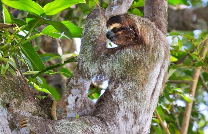 Three toed sloth - Costa Rica self drive holiday - Caribbean Coast