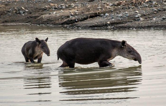 Bathing tapir - Corcovado National Park - Costa Rica self-drive holiday