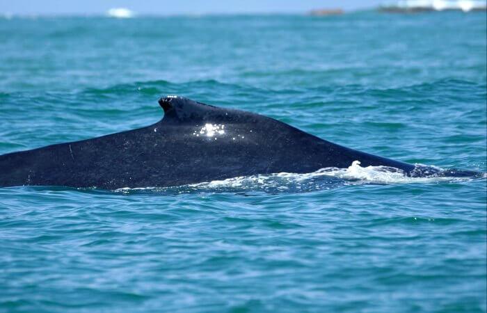 Humpback whale - Costa Rica