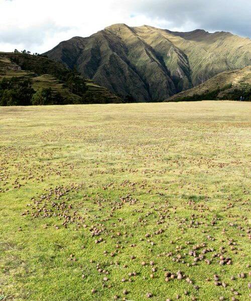 Potatoes freeze drying in field - touring Peru diary