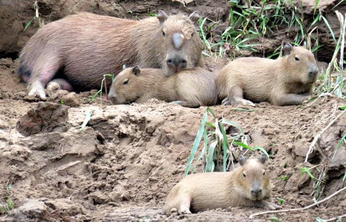 Touring Peru - Capybara family in the Amazon