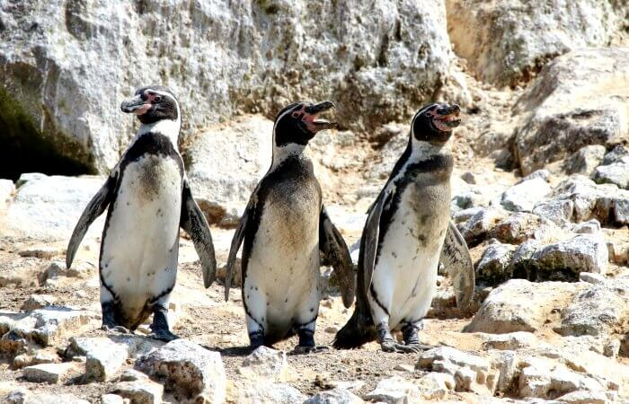 See Humboldt penguins on a Peru with kids holiday