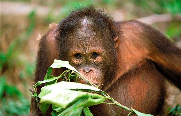 Sepilok Orangutan Sanctuary - Conscious traveller