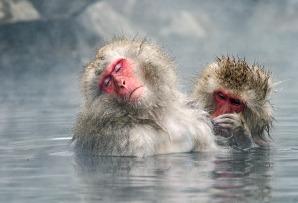 Japanese snow monkeys - Japan itineraries