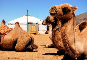 Mongolia itineraries - camels and yurt