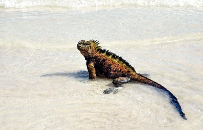 Iguana Walking On Tortuga Bay Beach - Best family beaches number 4