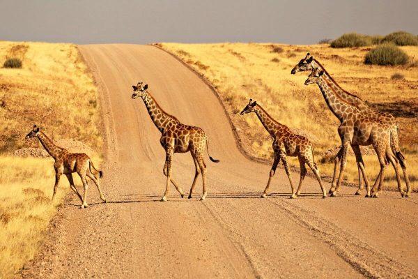 Giraffe crossing a gravel road in Namibia - family road trip