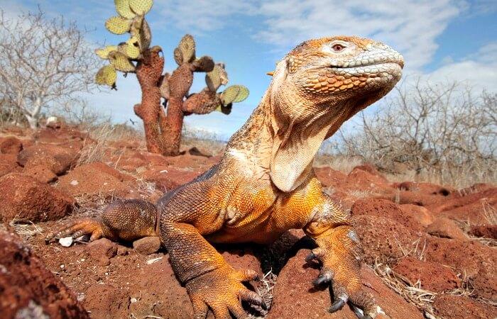 Land iguana - Galapagos with kids - tick off the Galapagos 15