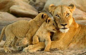 South Africa - lions in Kruger for School holidays calendar